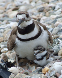 Photo of a killdeer with her baby
