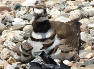 Killdeer with two of her chicks
